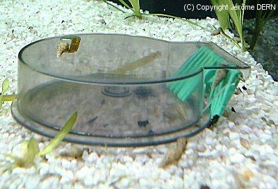 aquafish escargots. Black Bedroom Furniture Sets. Home Design Ideas